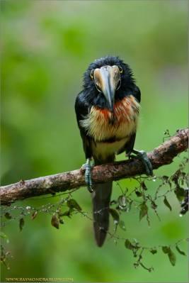 Collared Aracari (Pteroglossus torquatus) ©Raymond Barlow