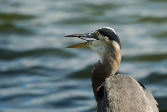 Great Blue Heron at Lake Morton by Dan
