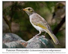 Ian's Bird of the Week – FuscousHoneyeater