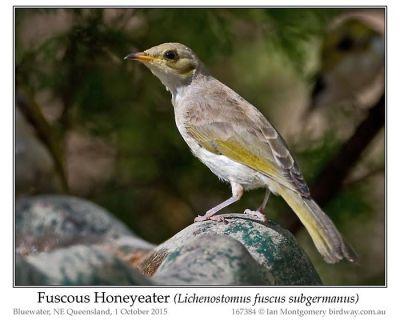 Fuscous Honeyeater (Lichenostomus fuscus) by Ian