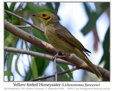 Yellow-tufted Honeyeater (Lichenostomus melanops) by Ian
