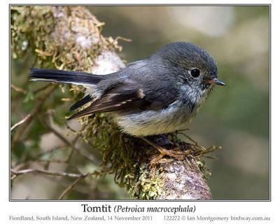 Tomtit (Petroica macrocephala) by Ian