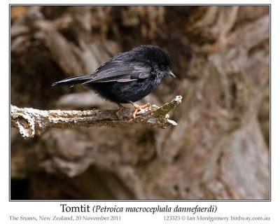 Tomtit (Petroica macrocephala dannefaerdi) by Ian