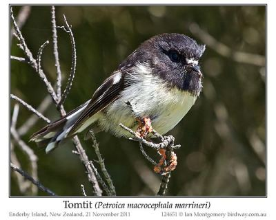 Tomtit (Petroica macrocephala marrineri) by Ian