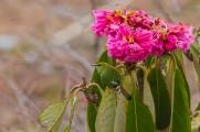 Fire-tailed Myzornis (Myzornis pyrrhoura) ©WikiC