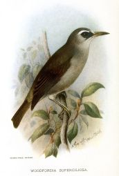 Bare-eyed White-eye (Woodfordia superciliosa) ©Drawing WikiC
