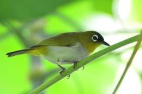 Black-crowned White-eye (Zosterops atrifrons) ©WikiC