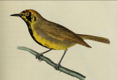 Bonin White-eye (Apalopteron familiare) ©Drawing WikiC