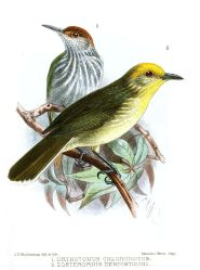 Golden-crowned Babbler (Sterrhoptilus dennistouni) ©Drawing WikiC