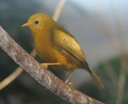 Golden White-eye (Cleptornis marchei) ©WikiC