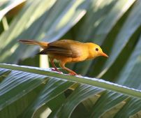 Golden White-eye (Cleptornis marchei) ©WikiC