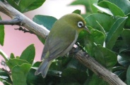 Green-backed White-eye (Zosterops xanthochroa) ©WikiC