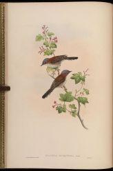 Indochinese Yuhina (Yuhina torqueola) ©Drawing WikiC