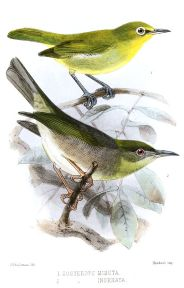 Large Lifou White-eye (Zosterops inornatus) ©Drawing WikiC