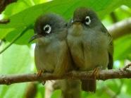 Mauritius Olive White-eye (Zosterops chloronothos) breeding pair ©WikiC