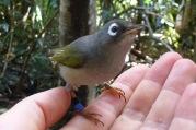 Mauritius Olive White-eye (Zosterops chloronothos) ©WikiC