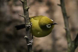 White-Eye Changes from I.O.C. Ver 9.1