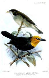 Mount Cameroon Speirops (Zosterops melanocephalus) ©WikiC