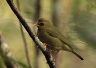 Mountain Blackeye (Chlorocharis emiliae) ©WikiC