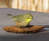 Orange River White-eye (Zosterops pallidus) ©WikiC