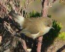 Reunion Grey White-eye (Zosterops borbonicus) ©WikiC