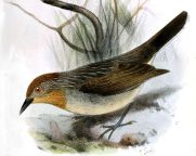 Rusty-crowned Babbler (Sterrhoptilus capitalis) ©Drawing WikiC