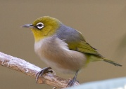 Silvereye (Lord Howe) (Zosterops lateralis tephropleurus) ©WikiC