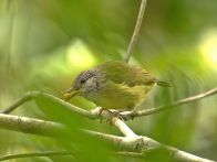 Streak-headed White-eye (Lophozosterops squamiceps stresemanni) ©WikiC