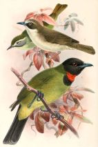 Thick-billed Heleia (Heleia crassirostris) Middle bird ©Drawing WikiC
