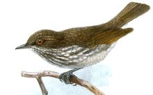 Visayan Pygmy Babbler (Dasycrotapha pygmaea) ©Drawing WikiC