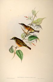 White-chested White-eye (Zosterops albogularis) ©Drawing WikiC