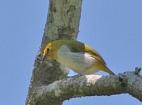 Yellow-ringed White-eye (Zosterops wallacei) ©WikiC