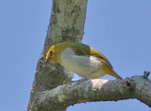 Yellow-ringed White-eye (Zosterops wallacei) ©WikiC