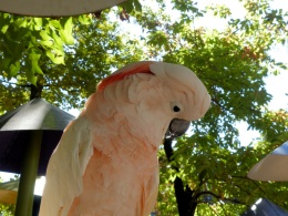 Salmon-crested (Moluccan) Cockatoo at ParrotMountain