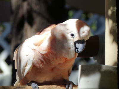 Salmon-crested Cockatoo (Cacatua moluccensis) at Parrot Mtn by Lee