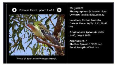 Princess Parrot (Polytelis alexandrae) by Ian