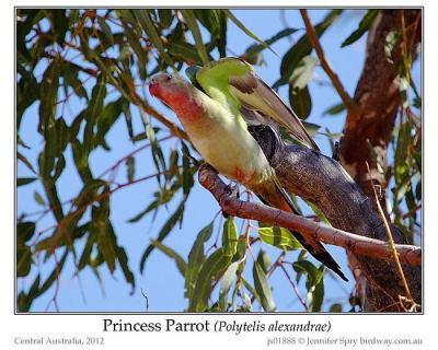 Princess Parrot (Polytelis alexandrae) by Jenny Spry