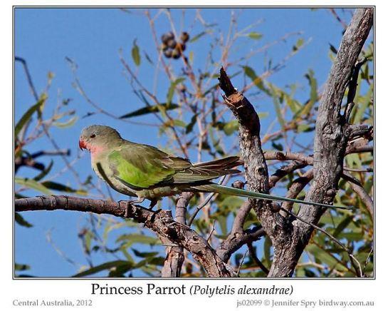 Princess Parrot (Polytelis alexandrae) © Jenny Spry