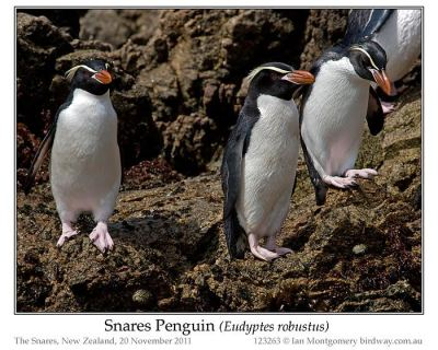 Snares Penguin (Eudyptes robustus) by Ian