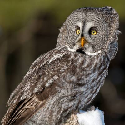 Great Grey Owl (Strix nebulosa) ©Peter K Burian