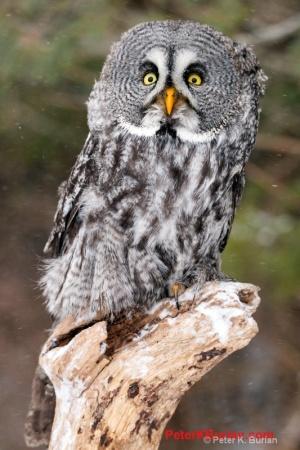Great Grey Owl (Strix nebulosa) ©Peter K Burian at www.peterkburian.com