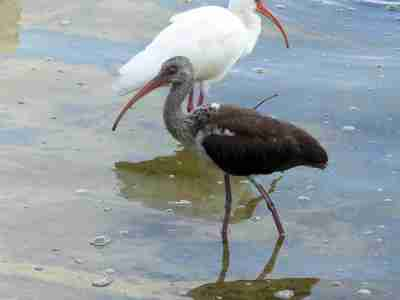 Immature White Ibis at Lake Morton by Lee