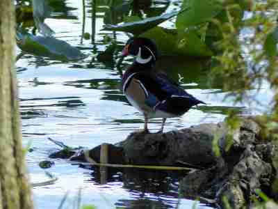 Wood Duck at Lake Morton by Lee
