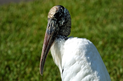 Wood Stork sitting at Lake Morton by Dan