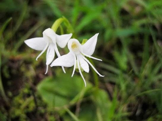 Angel Orchid (Habenaria Grandifloriformis)