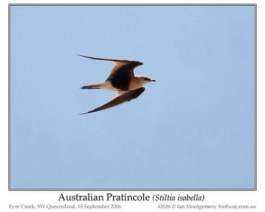 AustralianPratincole (Stiltia isabella) by Ian