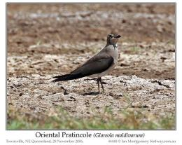 Ian's Bird of the Week – Oriental Pratincole