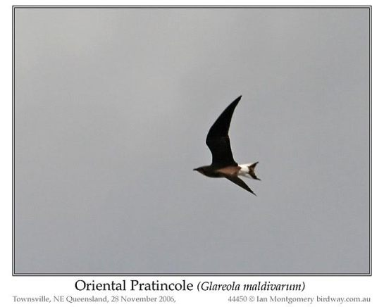 Oriental Pratincole (Glareola maldivarum) by Ian
