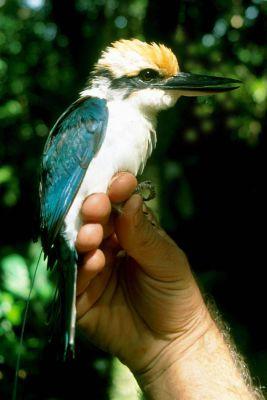 Pohnpei Kingfisher (Todiramphus reichenbachii) ©WikiC