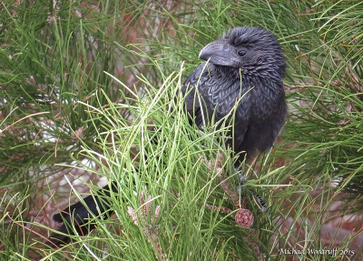 Groove-billed Ani (Crotophaga sulcirostris) by Michael Woodruff